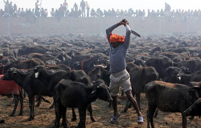 为祭典成千上万动物被宰杀血流成河 幸存小牛无助地看着人类