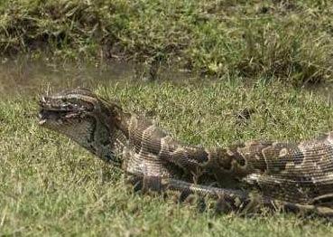 世界最大蟒蛇长近15米重894斤 印尼世界最大蟒蛇 - 嗡在网