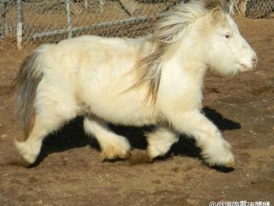 设得兰矮种马
