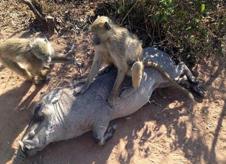 同为孤儿的野猪与猴子相依为命 一起休憩一同进餐