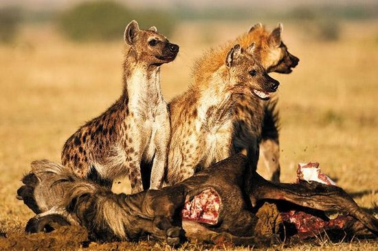 分分钟将猎物分食干净 斑鬣狗凶残到这个份上