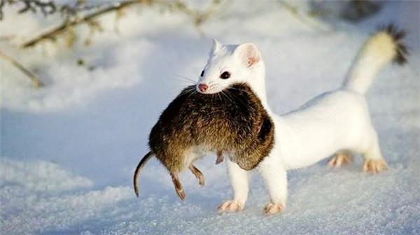 川西一巴掌大动物 一年吃3千只老鼠 号称平头哥二弟
