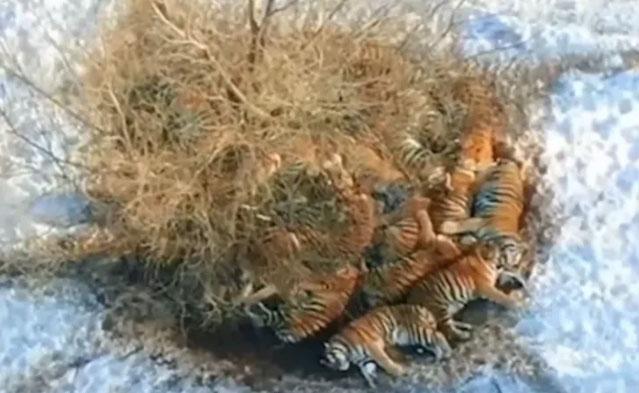 冷!二十余只东北虎聚集树下抱团取暖 终究是向生活低了头