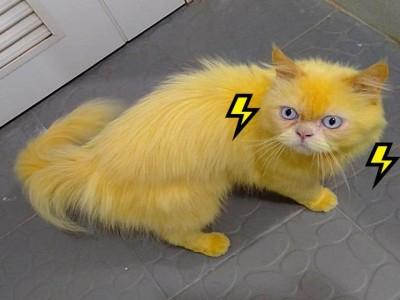 皮卡丘喵?白猫用姜黄治皮肤变全身金黄 网友:要发射10万伏特!