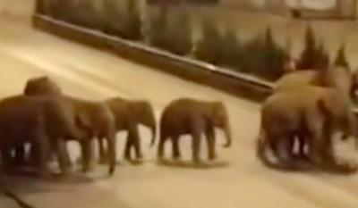 【视频】15头亚洲象进入云南峨山县城街头漫步溜达