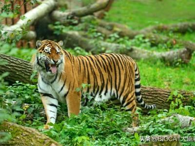 人类为何不能完全驯化老虎?动物被驯化的6个条件老虎有3个不满足
