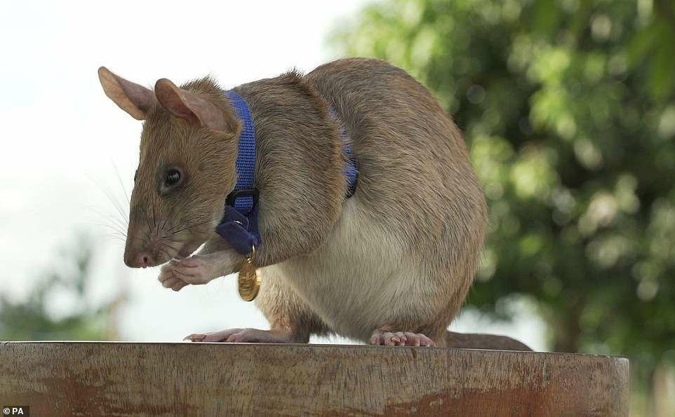 排雷71颗体长近1米的非洲巨鼠 在菲律宾功成身退