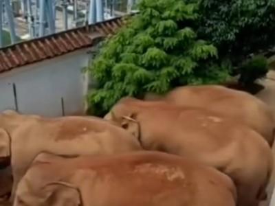 云南象群拧开水龙头喝水